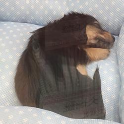 ミニチュアダックスフント(子犬)
